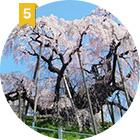 福島県5位 三春滝桜 福島県三春町